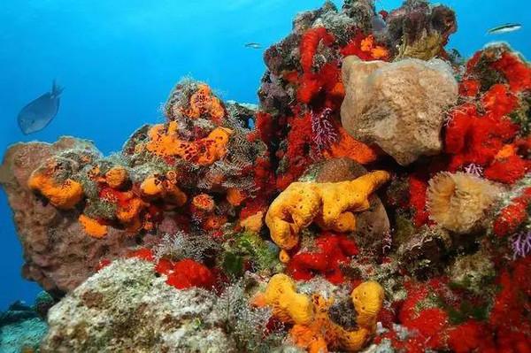 石头上的海绵。图片来源:seaspongecompany.com 地球上最早出现的动物是海绵吗?据英国《独立报》10日报道,美国科学家借助新的基因技术分析发现,一种类似现在的栉水母的生物可能才是地球上所有动物生命的终极祖先。这项新发现或将重构动物进化系统。 科学家此前认为,地球上的动物生命的祖先是海绵这种极其简单的生命形式。但2008年的一项研究提出,栉水母应被授予地球动物生命的终极祖先这一称呼。但这种说法引起了诸多争议,海绵起源理论的支持者们对此大加鞭挞。 现在,来自范德堡大学和威斯康星大学麦迪逊分